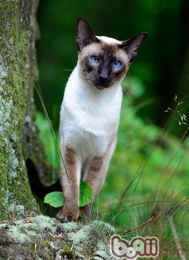暹罗猫打喷嚏该怎么办-猫咪常见病